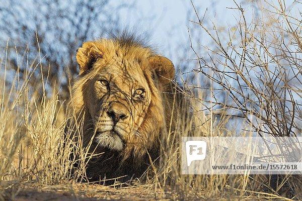 Lion (Panthera leo). Black-maned Kalahari male. Resting. Kalahari Desert  Kgalagadi Transfrontier Park  South Africa.