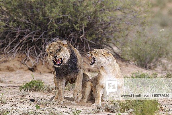 Lion (Panthera leo). Fairly old black-maned Kalahari male and female. Dramatic mating finish. Kalahari Desert  Kgalagadi Transfrontier Park  South Africa.
