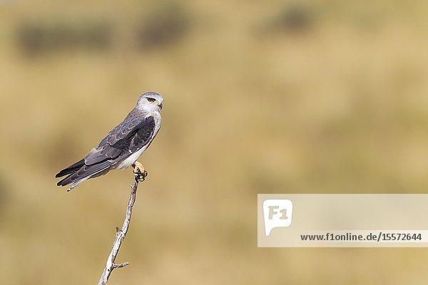 Black-shouldered Kite (Elanus caeruleus). Perching. Kalahari Desert  Kgalagadi Transfrontier Park  South Africa.