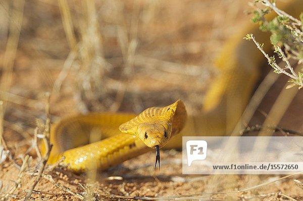 Cape Cobra (Naja nivea). Hunting and spreading its broad hood. Kalahari Desert  Kgalagadi Transfrontier Park  South Africa.
