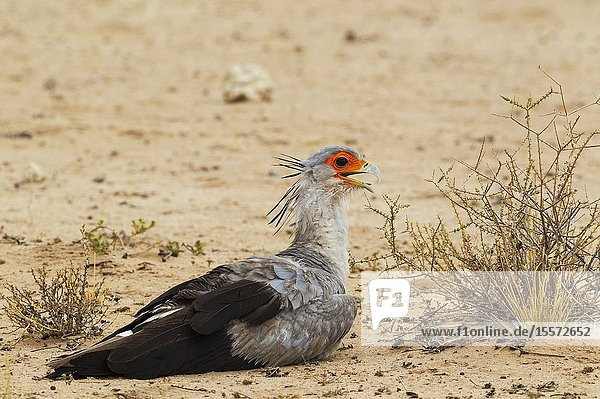 Secretary Bird (Sagittarius serpentarius). Resting at a very hot summer day. Kalahari Desert  Kgalagadi Transfrontier Park  South Africa.