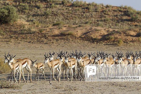 Springbok (Antidorcas marsupialis). Roaming herd in the dry Nossob riverbed. Kalahari Desert  Kgalagadi Transfrontier Park  South Africa.