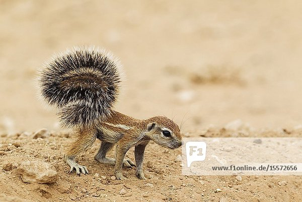 Cape Ground Squirrel (Xerus inauris). Young at its burrow. Kalahari Desert,  Kgalagadi Transfrontier Park,  South Africa.