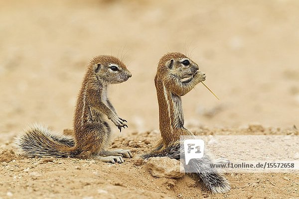 Cape Ground Squirrel (Xerus inauris). Two young at their burrow. Kalahari Desert  Kgalagadi Transfrontier Park  South Africa.