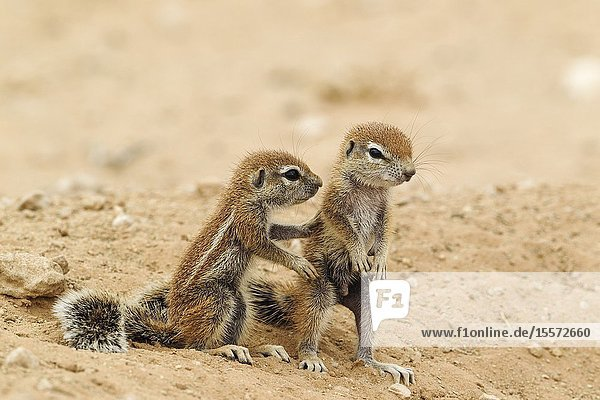 Cape Ground Squirrel (Xerus inauris). Two young at their burrow. Kalahari Desert,  Kgalagadi Transfrontier Park,  South Africa.