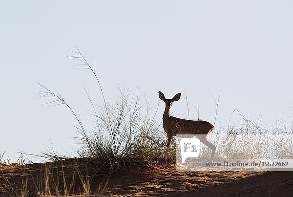 Steenbok (Raphicerus campestris). Female at the ridge of a grass-grown sand dune. Kalahari Desert  Kgalagadi Transfrontier Park  South Africa.