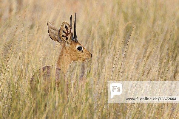 Steenbok (Raphicerus campestris). Male. Kalahari Desert  Kgalagadi Transfrontier Park  South Africa.