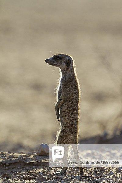 Suricate (Suricata suricatta). Also called Meerkat. Guard on the lookout. Kalahari Desert  Kgalagadi Transfrontier Park  South Africa.