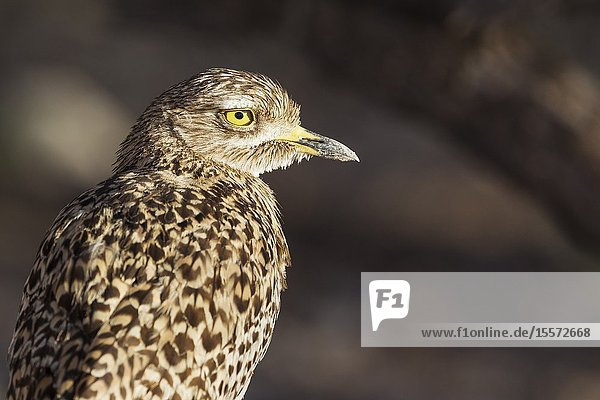 Spotted Dikkop (Burhinus capensis). Also called Spotted Thick-knee. Kalahari Desert  Kgalagadi Transfrontier Park  South Africa.