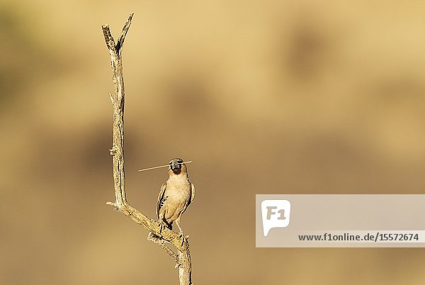 Sociable Weaver (Philetairus socius). Perching in the vicinity of its nest. The blade of grass will be used to keep extending the nest. Kalahari Desert  Kgalagadi Transfrontier Park  South Africa.