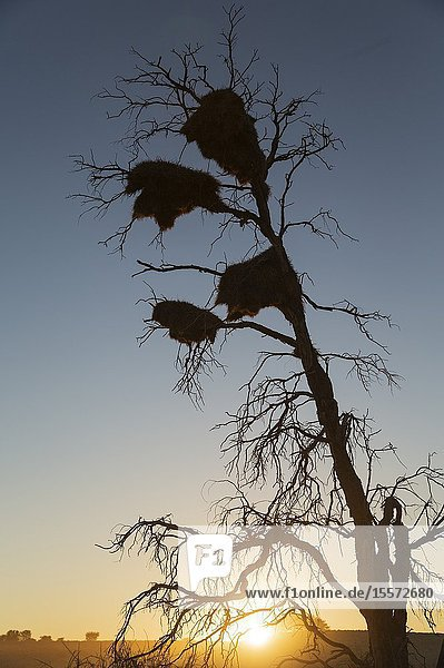 Large communal nests of Sociable Weavers (Philetairus socius) in a dead tree. At sunrise. Kalahari Desert  Kgalagadi Transfrontier Park  South Africa.