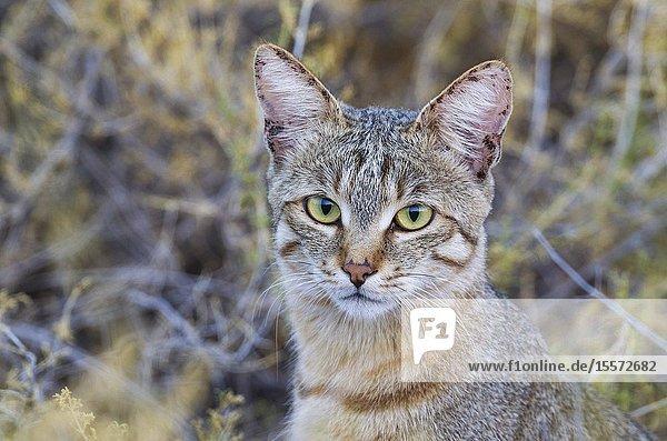 African Wild Cat (Felis silvestris lybica). Kalahari Desert  Kgalagadi Transfrontier Park  South Africa.