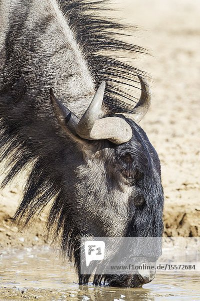 Blue Wildebeest (Connochaetes taurinus). Drinking at a waterhole. Kalahari Desert  Kgalagadi Transfrontier Park  South Africa.
