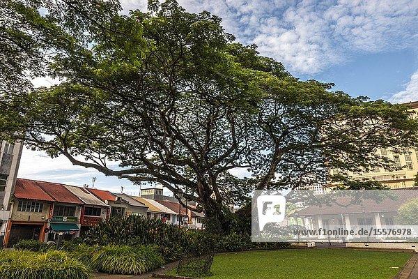 A big tree beside the old Kuching High Court  Sarawak  Malaysian Borneo  Malaysia  Southeast Asia  Asia