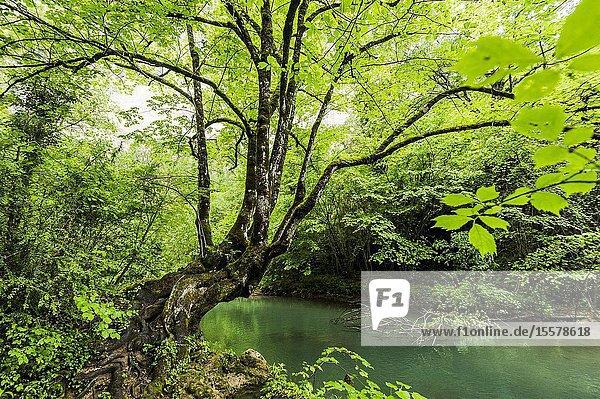 Tree in Guadiela River  Gorge of Beteta located in Iberian Mountain Range (Cuenca Province  Castilla- La Mancha Region  Spain)