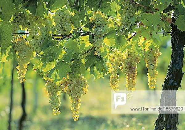 Frankreich  Burgund  Traube weißer Trauben