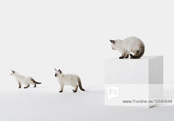Drei Kätzchen vor weißem Hintergrund