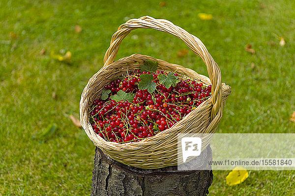 Wickerbasket mit roten Johannisbeeren