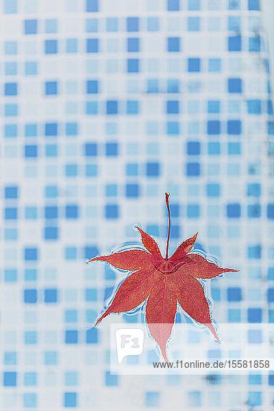 Hochwinkelansicht eines im Schwimmbad schwimmenden Ahornblatts  USA