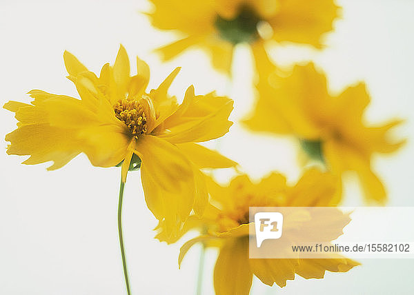 Yellow coreopsis flower against white background