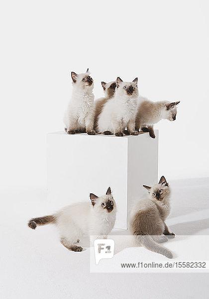 Ragdollkätzchen im Block sitzend vor weißem Hintergrund