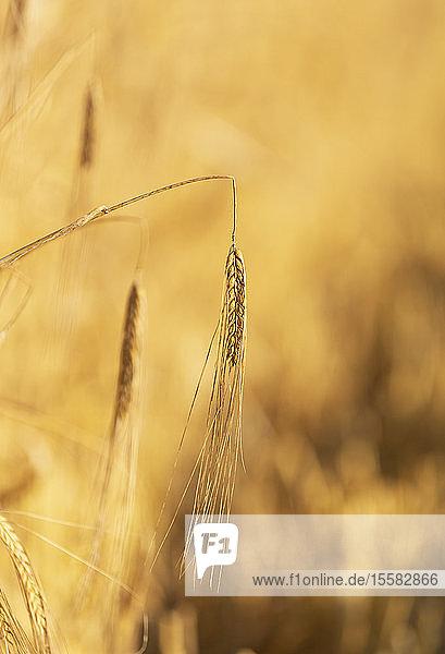 Nahaufnahme einer Maisernte auf einem landwirtschaftlichen Feld