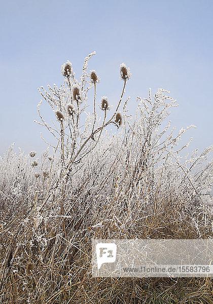 Deutschland  Frostbewachsenes Gras