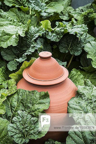 Hochwinkel-Nahaufnahme eines Terrakottatopfes  Rhabarberkessel in einem Gemüsebeet.