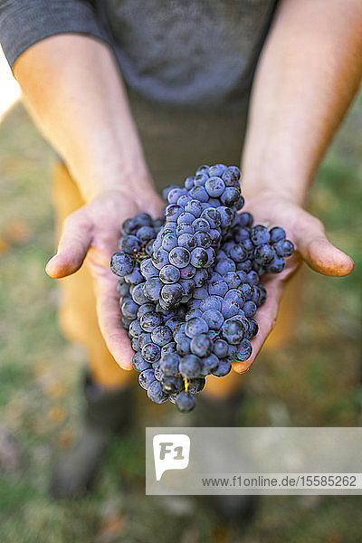 Man's hands holding grapes in vineyard