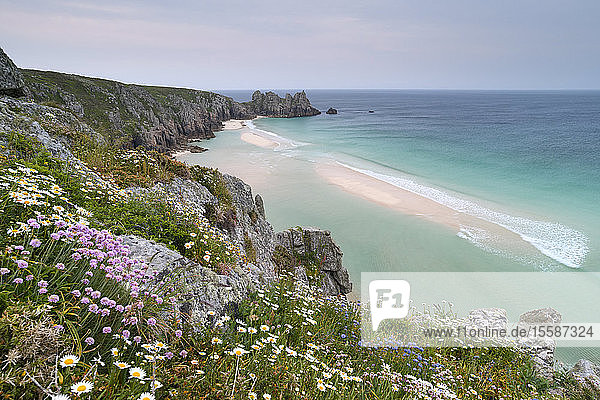 Wildflowers in spring on the cliffs above Pednvounder Beach and Logan Rock  Cornwall  England  United Kingdom