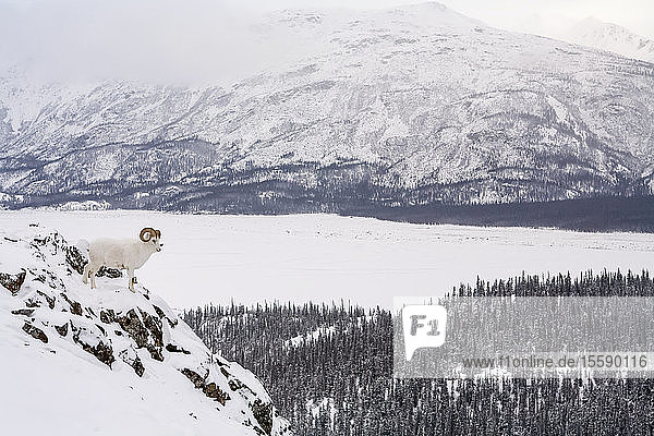 Dall Sheep Bedded Down On Sheep Mountain Over Looking The Slims River Valley  Kluane National Park  Yukon Territory  Canada