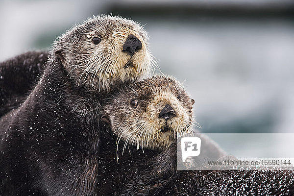 Close Up View Of Sea Otters Huddled Together  Prince William Sound  Southcentral Alaska  Winter