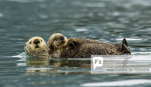 Sea Otter Floating With Pup In Orca Inlet  Off Prince William Sound Near Cordova  Southcentral Alaska  Summer