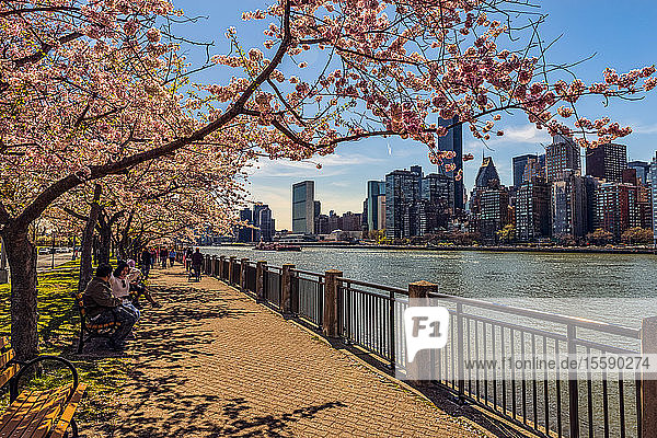 Roosevelt Island with cherry blossoms ( Kwanzan Prunus serrulata) and the Manhattan skyline across the East River; New York  United States of America
