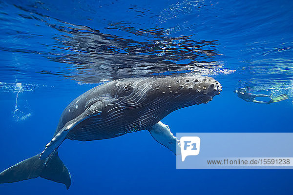 A snorkler and a young humpback whale (Megaptera novaeangliae); Hawaii  United States of America
