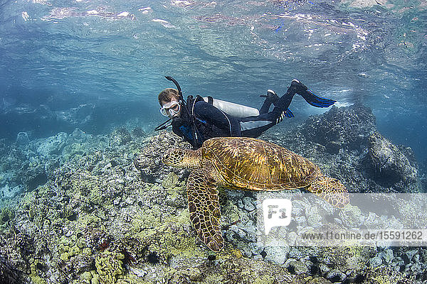 Green sea turtle (Chelonia mydas) and diver; Hawaii  United States of America