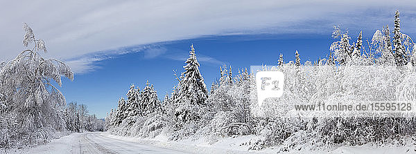 Snow-covered trees with tire tracks on a snowy road in winter; Thunder Bay  Ontario  Canada