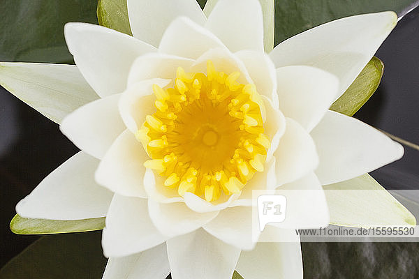 Close-up of water lily at Lake Umbagog  New Hampshire  USA
