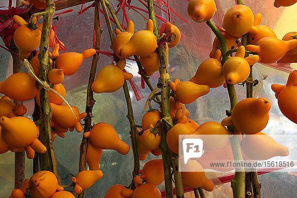 Foto von vielen Nippelfrüchten (Solanum mammosum)