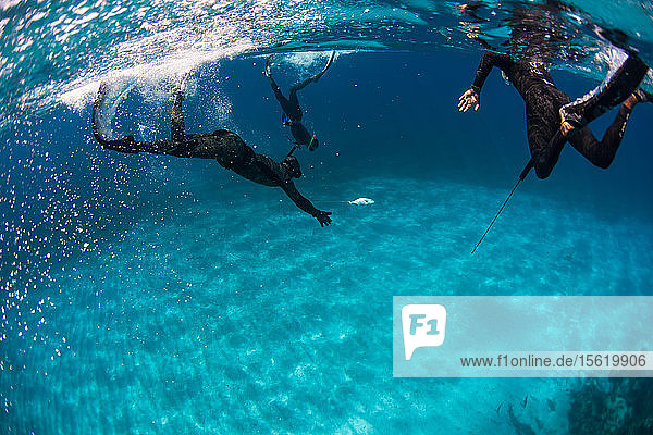 Group of divers retrieving dead margate fish (of grunt family) while spearfishing. Sharks can be attracted by the dying fish  so divers often help each other and keep eyes out for other predators  Clarence Town  Long Island  Bahamas.
