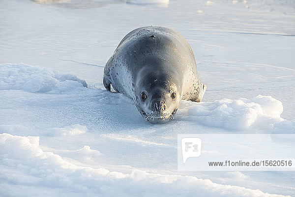 A leopard seal displays aggressive behavior on the surface of the ice near Cape Evans; Antarctica after showing interest in the photographer.