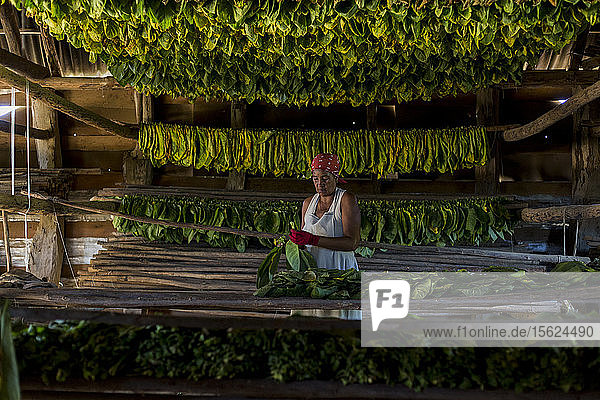 Mature woman wearing headscarf threading and drying tobacco leaves  Vinales  Pinar del Rio Province  Cuba