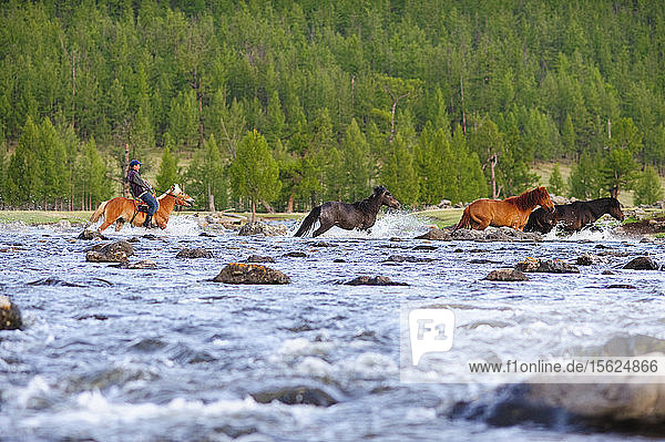 A Mongolian Farmer Crosses The River While Herding His Horses  Mongolia