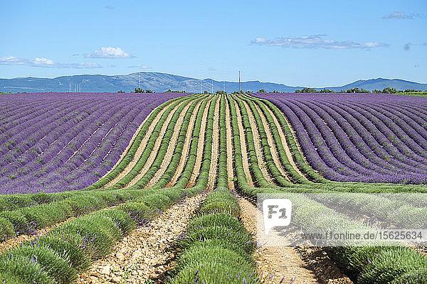 Ein Lavendelfeld in voller Blüte nach dem Schneiden der ersten Lavendelreihen zu Beginn der Ernte  Plateau de Valensole  bei Puimoisson  Provence-Alpes-C?ï¾¥te d'Azur  Frankreich