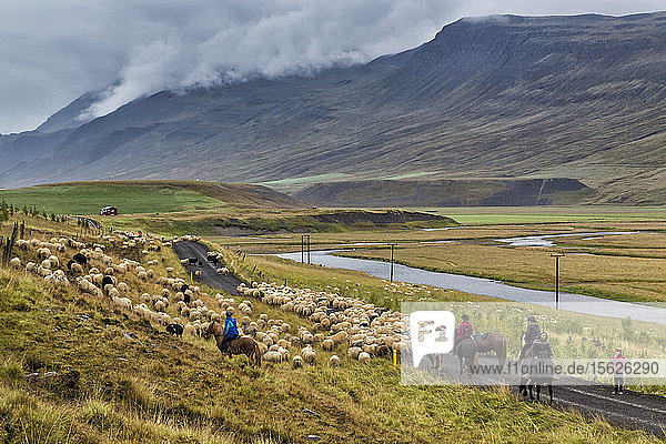 Annual autumn sheep roundup through the Vatnsdalur Valley in Iceland. Every year in September  over 10 000 Icelandic sheep are herded back home after grazing freely throughout the mountains and valleys all summer. This sheep roundup  called Rettir  is one of Iceland's oldest cultural traditions.