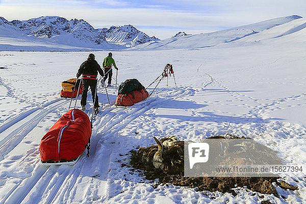 Bergsteigerteam beim Ziehen eines Pulkschlittens durch einen toten Moschusochsen in verschneiter Landschaft