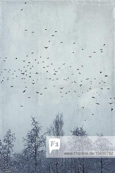 Deutschland  Wuppertal  Vogelschwarm  der im Winter über kahle Waldbäume fliegt
