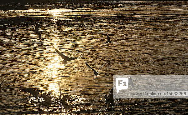 Scherenschnittvögel fliegen bei Sonnenuntergang über den Tegernsee  Bayern  Deutschland