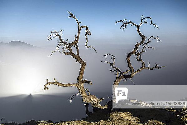 Indonesien  Java  Vulkan Ijen Nahaufnahme eines unfruchtbaren Baumes