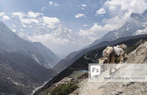 Gepackter Yak  Solo Khumbu  Nepal
